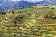 Rose fields on terraced Vietnam Royalty Free Stock Photo