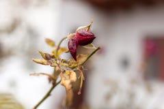 Rose figée Photos stock