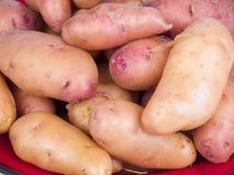 Rose fingerling potatoes. Garden fresh rose fingerling potatoes on a red plate Royalty Free Stock Images