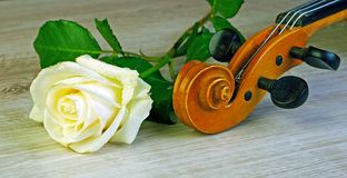 rose fiol closeup Royaltyfria Foton