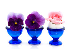 rose fioler Arkivfoton
