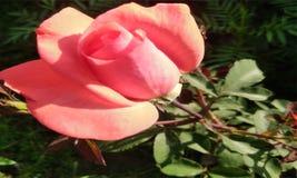 ROSE FIOWER ET FEUILLES VAECTOR BACKGOUND image libre de droits