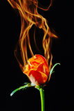 Rose on fire. Burning rose on black background Royalty Free Stock Images