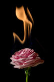 Rose on fire Stock Images