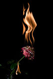 Rose on fire Stock Photography