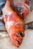Rose fish (sebastes marinus) Royalty Free Stock Images