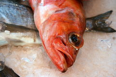 Rose fish (sebastes marinus) Royalty Free Stock Image