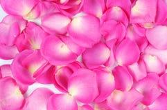 Rose flakes background. Full frame Stock Images