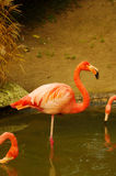 Rose Flamingo at the Luise Park in Mannheim. Germany Stock Image