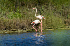 Rose flamingo in swamp during a sunny day Stock Photography