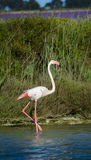 Rose flamingo in swamp during a sunny day Stock Image