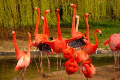 Rose Flamingos at Zoo in Heidelberg, Germany Stock Photo