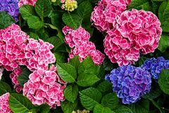 Rose, fleur bleue, lilas, violette, pourpre d'hortensia (macrophylla d'hortensia) fleurissant au printemps et été dans un jardin  image stock