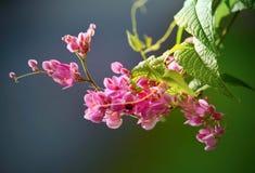 Rose, fleur de souhaiter l'arbre, bakeriana de casse Photo stock