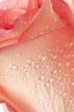 Rose, fleur sur le blanc avec des baisses photographie stock libre de droits