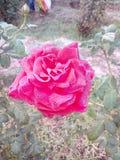 Rose fleurit couleurs de couleur de Denise de belles couleurs romantiques gentilles très bonnes d'amour belles de grandes Images libres de droits