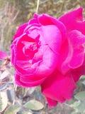 Rose fleurit de belles couleurs Denise de bel amour romantique gentil très bon Photo libre de droits