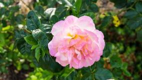 Rose fleurit la roseraie de nature Photographie stock libre de droits