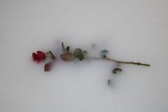 Rose floating in milk. Rose flowers floating in a milk bath Stock Photo