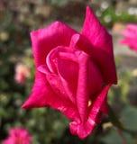 Rose, flor, rosa, rojo, amor, ma?ana soleada, primavera, amor, celebraci?n imagenes de archivo