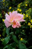 ROSE FLORA I KÖPENHAMNEN DANMARK royaltyfria foton
