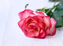 Rose. Floral background for congratulations Royalty Free Stock Photo