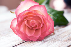 Rose. Floral background for congratulations Royalty Free Stock Image