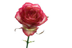 Rose. Floral background for congratulations Royalty Free Stock Photography