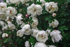 Rose, floral, plants, bush, greens, flowers. royalty free stock image
