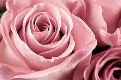 Rose florece el primer imagen de archivo libre de regalías