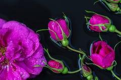 Rose florece la rosa de té con la mentira de las gotas de lluvia Foto de archivo