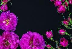 Rose florece la rosa de té con la mentira de las gotas de lluvia Fotografía de archivo libre de regalías