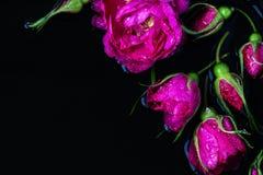 Rose florece la rosa de té con la mentira de las gotas de lluvia Fotos de archivo