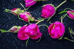 Rose florece la rosa de té con la mentira de las gotas de lluvia Imagen de archivo