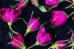 Rose florece la rosa de té con la mentira de las gotas de lluvia Foto de archivo libre de regalías