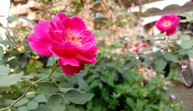 Rose floreciente imagen de archivo
