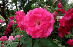 Rose floreciente imagenes de archivo