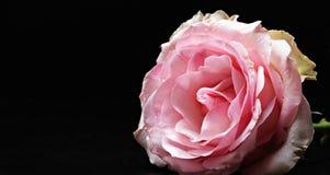 Rose, Floribunda, Pink, Pink Rose Stock Image