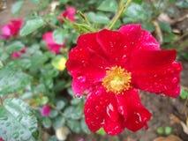 Rose Flower Stock Foto's
