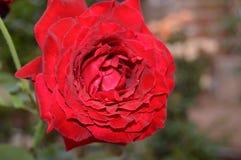 Rose Flower Imagem de Stock