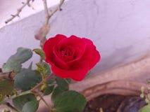 Rose_flower στοκ εικόνες με δικαίωμα ελεύθερης χρήσης