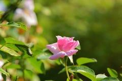 Rose Flower Stock Afbeeldingen