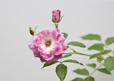 Rose Flower. Pink in color photographed from above Stock Photography