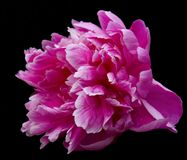 The rose flower. Isolated on black Royalty Free Stock Photo