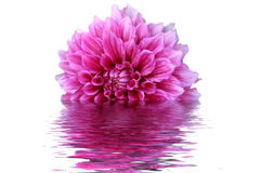 Rose flower. A rose flower is half submerged in water on a white background Stock Photo