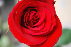 Rose Flower 2. Red roses ready for Valentine's Day, an anniversary, or other special occasion royalty free stock images