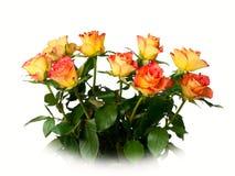 Rose flower. Royalty Free Stock Image
