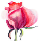 Rose flower. Beautiful Rose flower, watercolor illustration Stock Photography