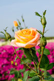 Rose flower Stock Images