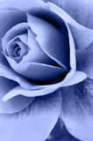 Rose Flower. Rendered in blue tone Stock Photography